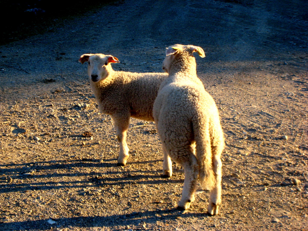 Sheep roadies
