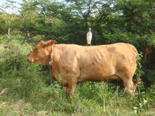 Bird on a cow.JPG