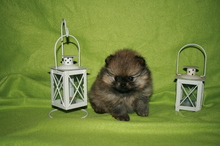 Pomeranian puppies photos. Mandy´s puppies 60