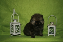 Pomeranian puppies photos. Mandy´s puppies 59
