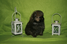 Pomeranian puppies photos. Mandy´s puppies 58