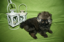 Pomeranian puppies photos. Mandy´s puppies 57