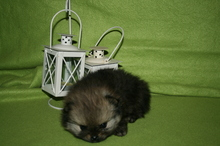 Pomeranian puppies photos. Mandy´s puppies 53