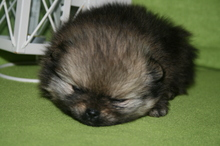 Pomeranian puppies photos. Mandy´s puppies 52