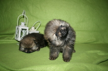 Pomeranian puppies photos. Mandy´s puppies 50