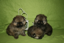 Pomeranian puppies photos. Mandy´s puppies 48
