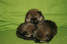 Pomeranian puppies photos. Mandy´s puppies 47