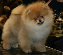 Pomeranian: Orange pomeranian Army 159