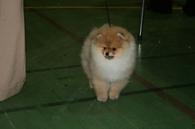 Pomeranian: Orange pomeranian Army 110