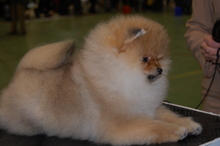 Pomeranian: Orange pomeranian Army 119