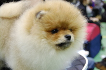 Pomeranian: Orange pomeranian Army 118