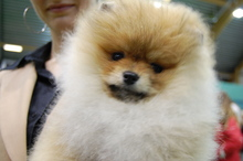 Pomeranian: Orange pomeranian Army 115