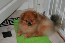 Pomeranian boy Toby from Bella klein 13