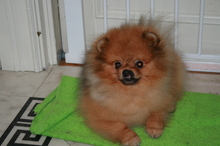 Pomeranian boy Toby from Bella klein 12