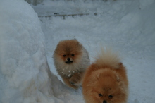 Pomeranian: Orange pomeranian Army 103