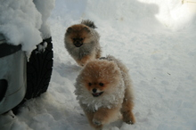 Pomeranian: Orange pomeranian Army 102