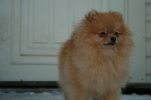 Pomeranian: Dolly 4