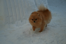 Pomeranian: Dolly 2