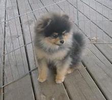 Mickey Black & tan pomeranian