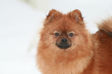 red Pomeranian Mandy  20