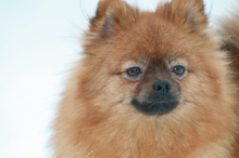 red Pomeranian Mandy  19