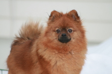 red Pomeranian Mandy  18