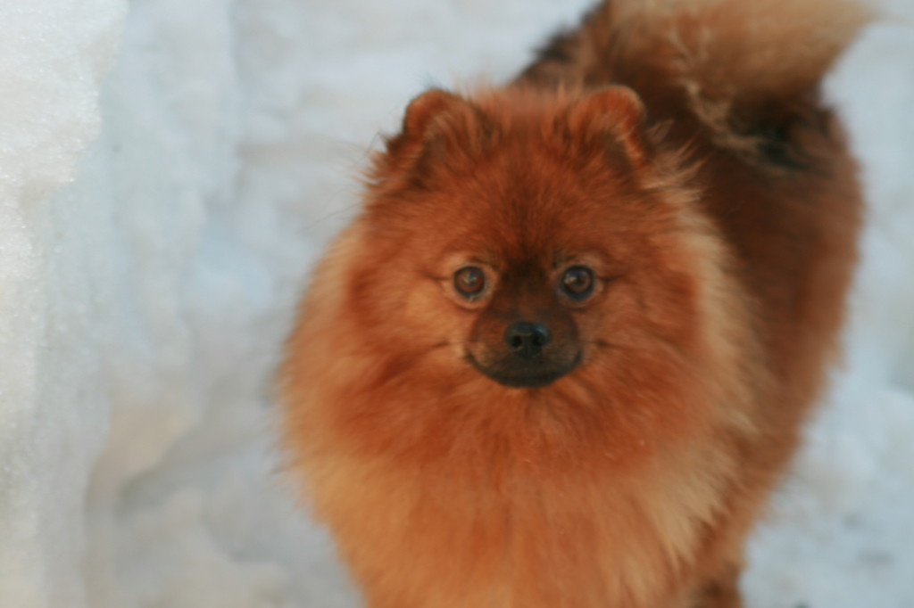 Red pomeranian puppy