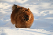 red Pomeranian Mandy  24