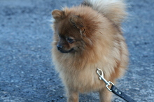 red Pomeranian Mandy  21
