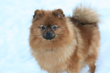 red Pomeranian Mandy  22