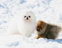 Pomeranian: Orange pomeranian Army 53
