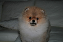 Pomeranian: Orange pomeranian Army 45