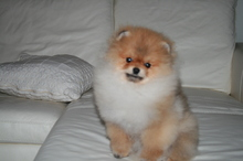 Pomeranian: Orange pomeranian Army 44