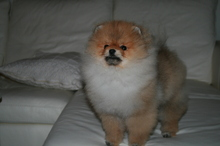 Pomeranian: Orange pomeranian Army 43