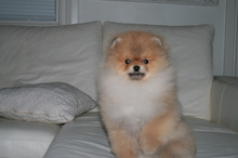 Pomeranian: Orange pomeranian Army 41