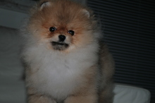 Pomeranian: Orange pomeranian Army 40
