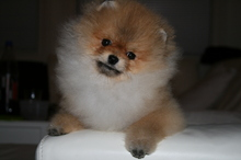 Pomeranian: Orange pomeranian Army 39