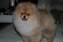 Pomeranian: Orange pomeranian Army 38