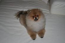 Pomeranian: Orange pomeranian Army 37