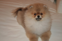 Pomeranian: Orange pomeranian Army 36