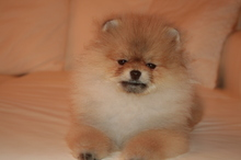 Pomeranian: Orange pomeranian Army 34