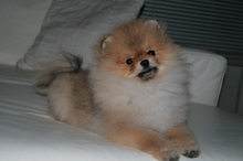 Pomeranian: Orange pomeranian Army 33