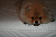 Pomeranian: Orange pomeranian Army 32