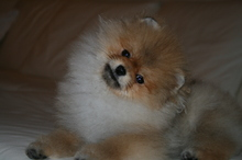 Pomeranian: Orange pomeranian Army 31