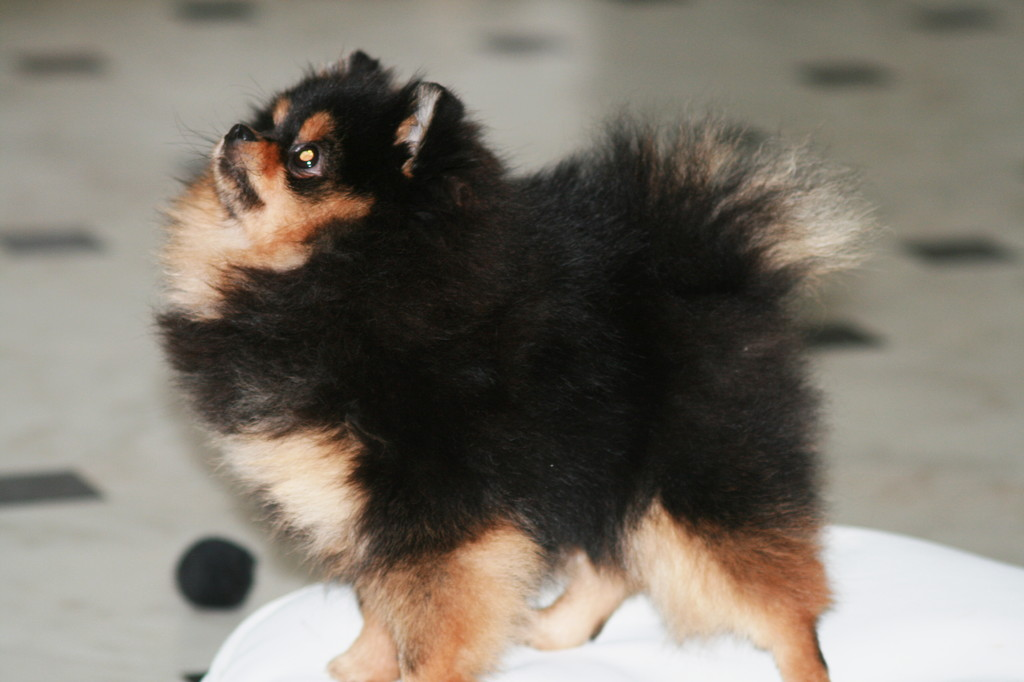 Photos tagged with black and tan pomeranian by Bella Klein on Expono ...