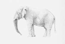 African Elephant Bull Standing Pose