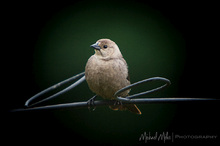 Female Brown Headed Cowbird