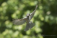 Tufted Tit Mouse in Flight