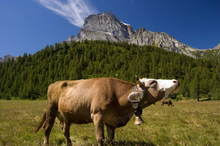 Cow in Alpe Veglia mountain pasture
