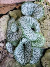 Brunnera Sea heart.JPG